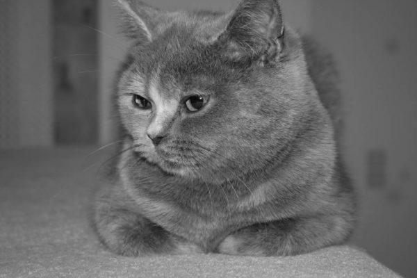 Серый метис шотландской и британской кошки