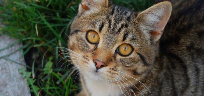 Серый полосатый кот с золотыми глазами смотрит в объектив