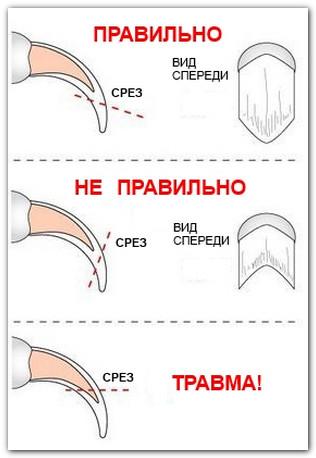 Схема правильной стрижки когтя