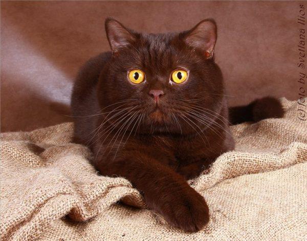 Шоколадный британский кот