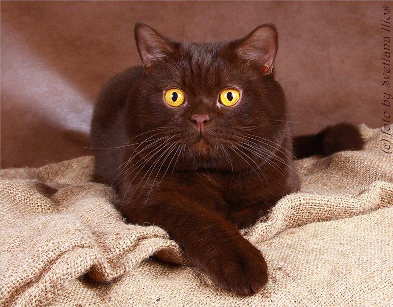 лобачевский котенок британец фото шоколадный плюс