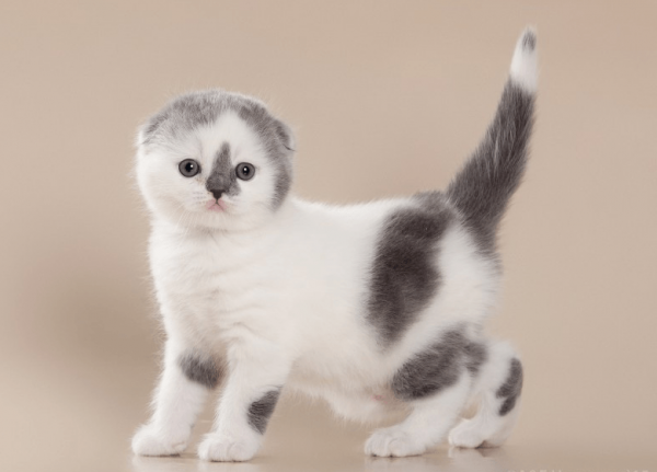 Пятнистый котёнок породы шотландская вислоухая