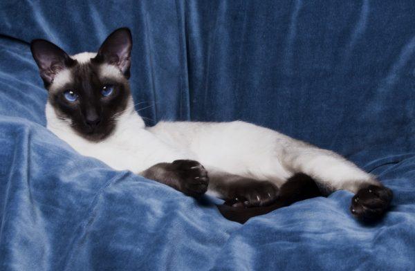 Сиамская кошка на фоне синего бархата
