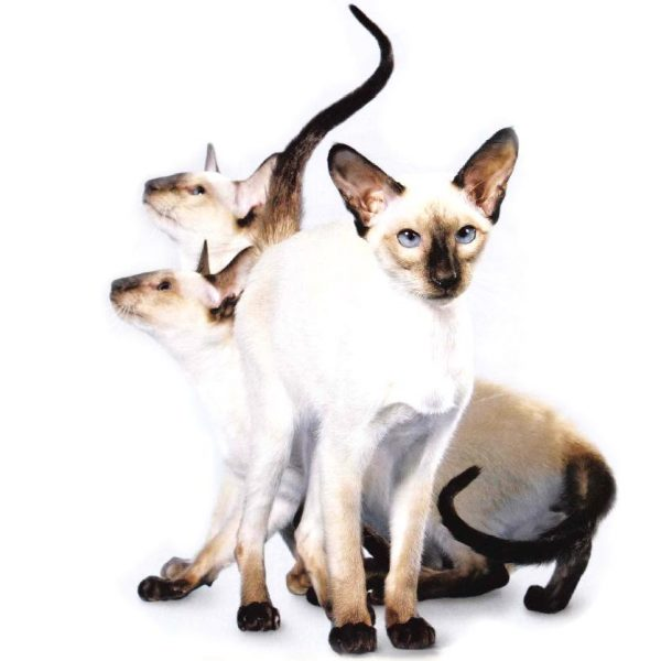 Три сиамские кошки