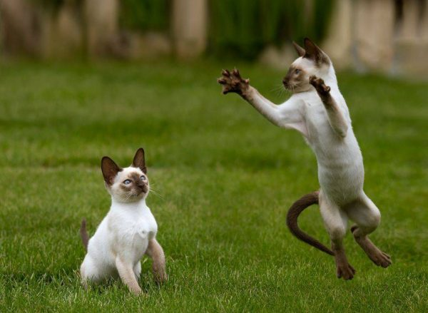 Сиамские кошки на прогулке