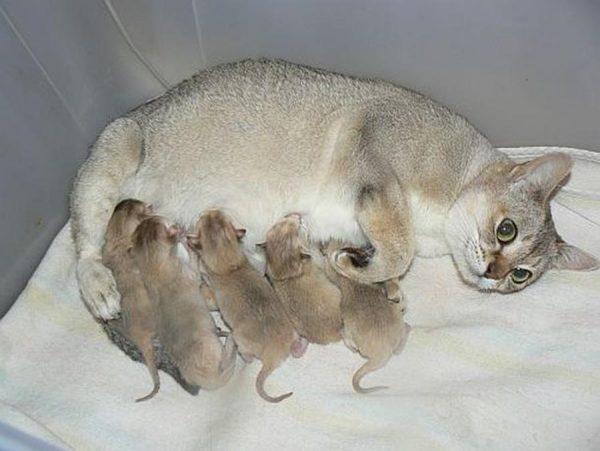 Сингапурская кошка с котятами