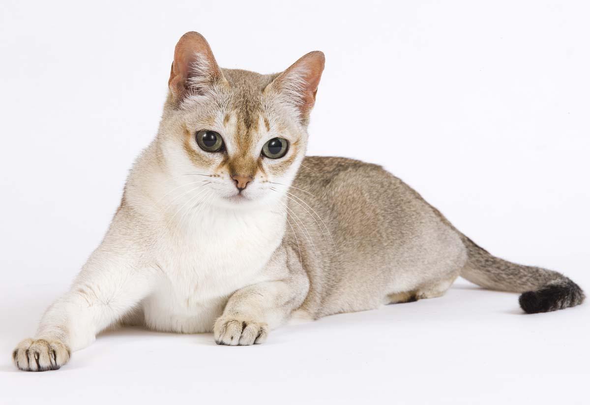 Сингапурская кошка: главное о прекрасной породе