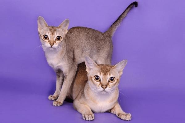 Сингапурские котята