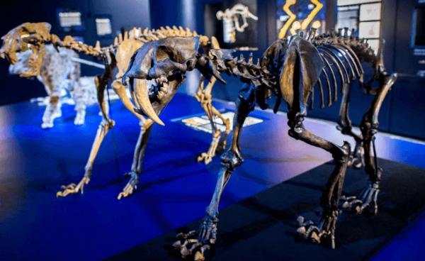 Скелеты саблезубов в музее