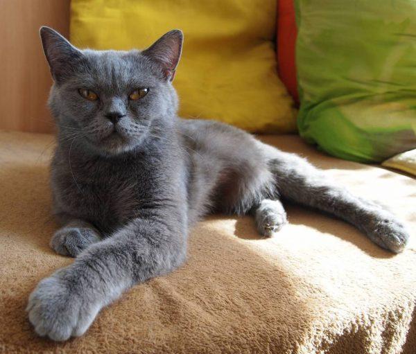 Старый британский котик лежит на диване
