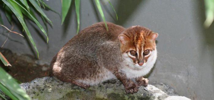 суматранская дикая кошка сидит на коряге
