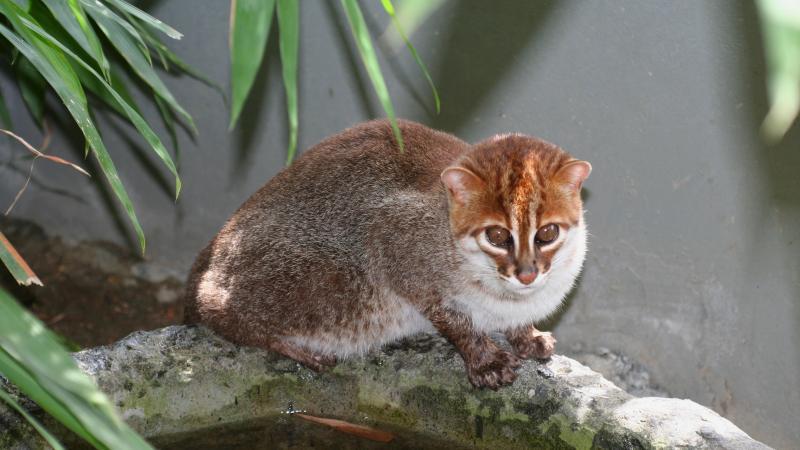 Всё о суматранской породе кошек