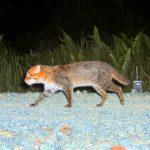 суматранская кошка идёт по камням