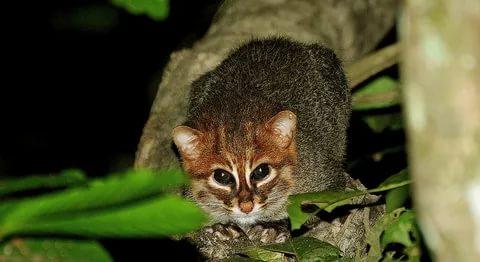суматранская кошка прячется на дереве