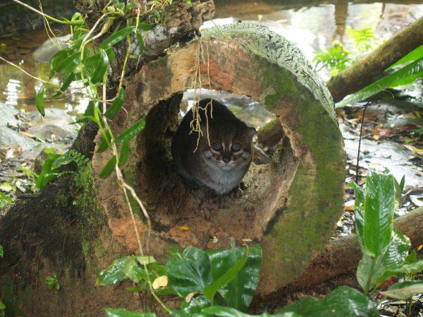 суматранская кошка прячется от дождя в стволе спиленного дерева