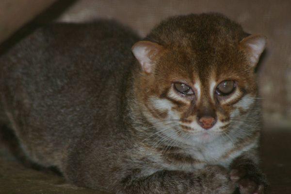 суматранская кошка с зеркальными глазами крупным планом