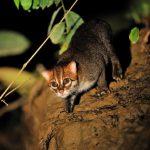суматранская кошка в свете фонаря