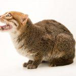 суматранская кошка (вид сбоку)