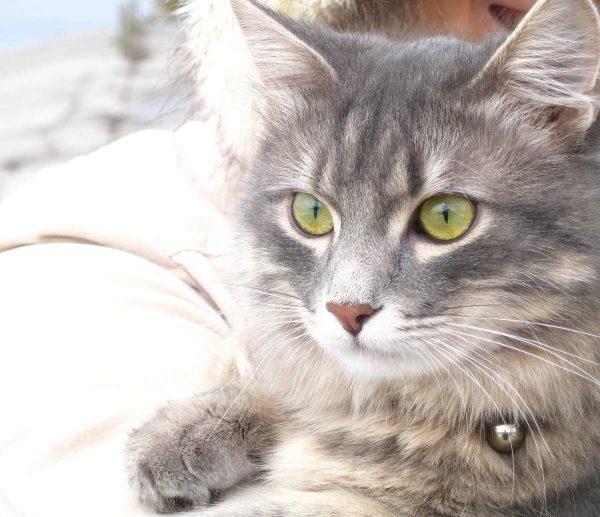 Светло-серая кошка с зелёными глазами