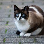 Пятнистый кот сноу шу