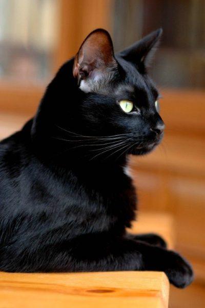 чёрная кошка с зелёными глазами в профиль