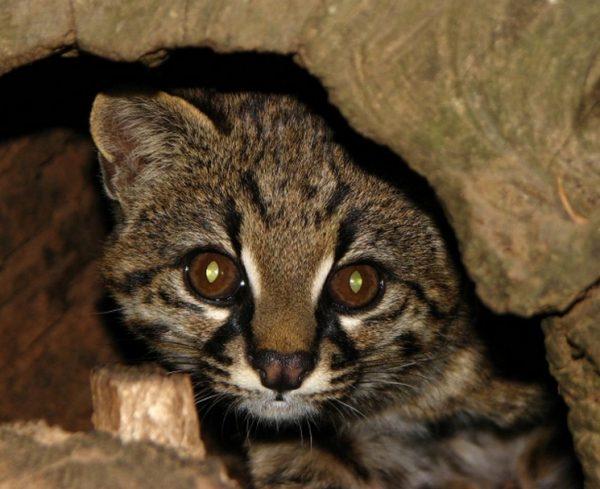 андский котёнок в пещере