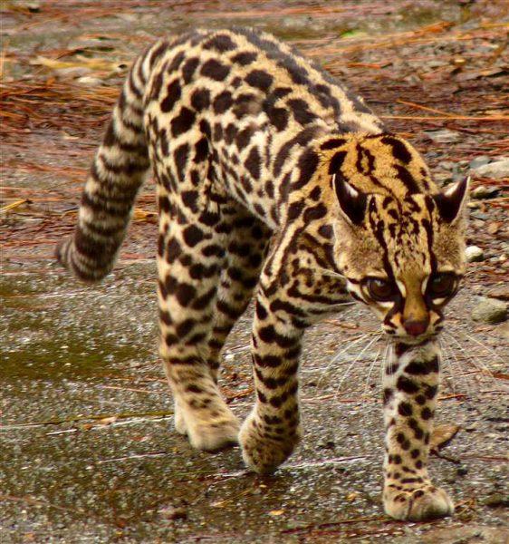 Тигровая кошка идёт