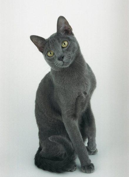 Тёмно-голубая кошка породы корат