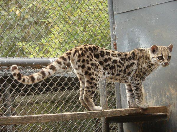 Тигровая кошка в зоопарке