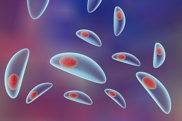 токсоплазма gondii под микроскопом