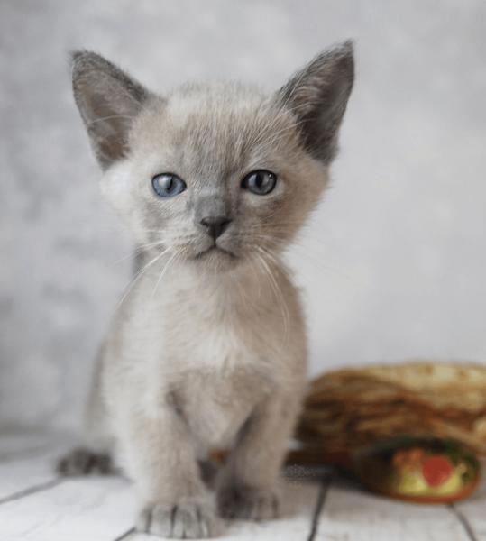 Тонкинский котёнок сидит на полу