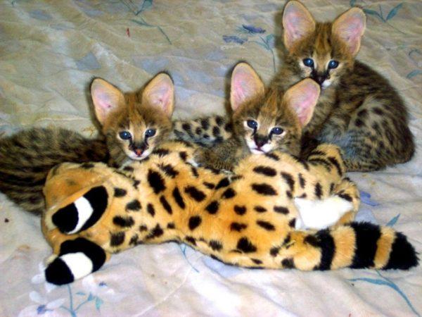 Три котёнка ашеры