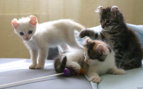 Три котёнка кёрла