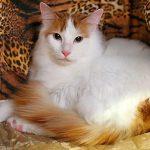 Туцецкая анатолийская короткошёрстная кошка