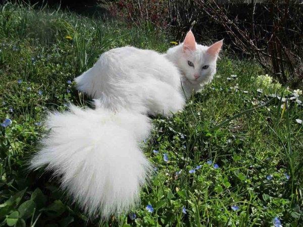 Турецкая ангора в траве