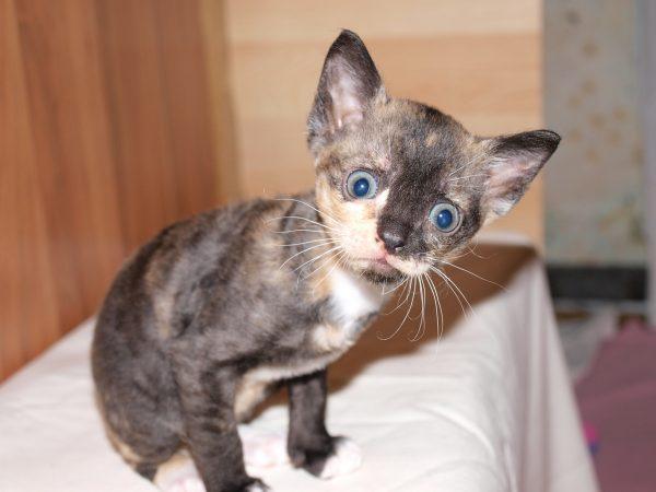 Пятнистый котёнок уральского рекса с серо-зелёными глазами