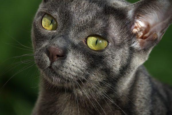 Кошка корат с солнечными бликами на морде