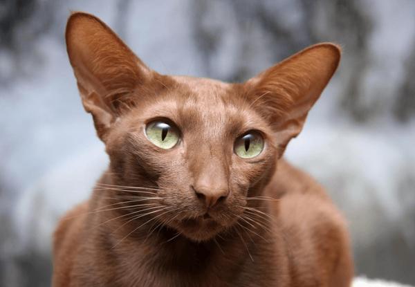 Умный и понимающий яванский кот шоколадного окраса