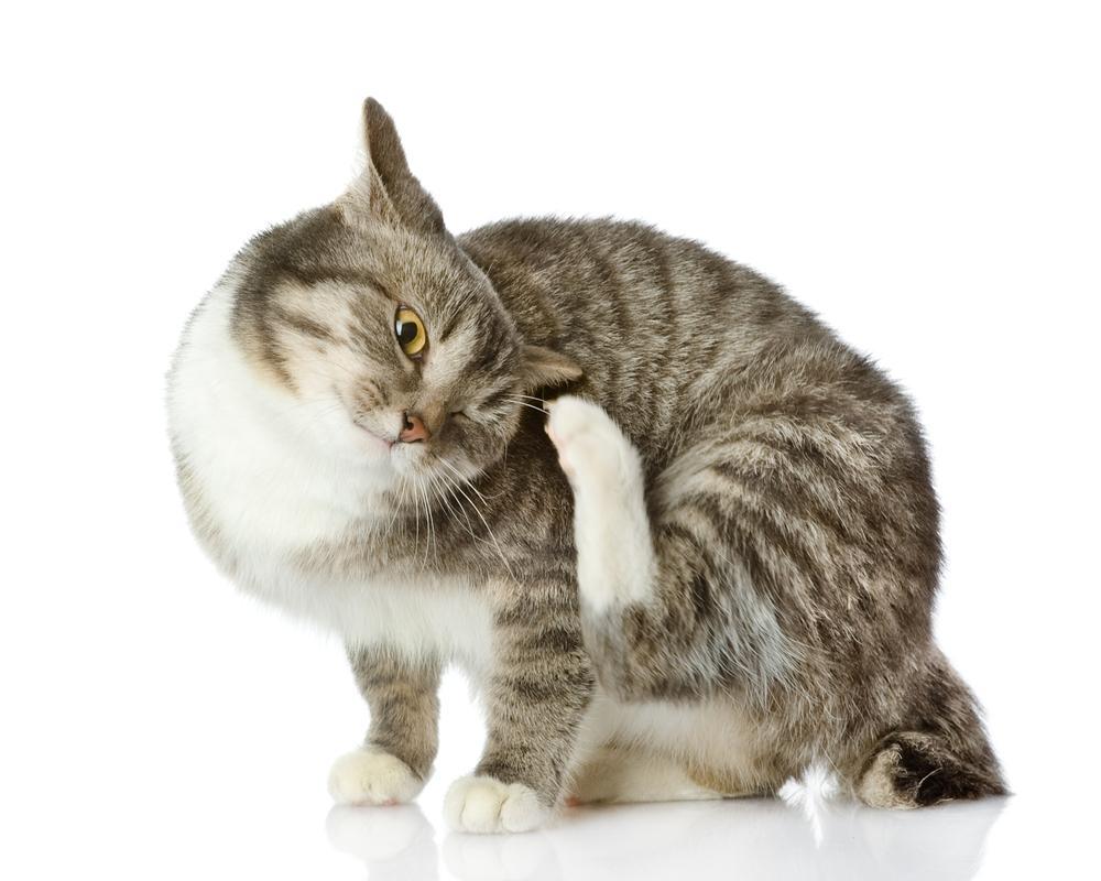Ушной клещ у кошки: как распознать симптомы и быстро вылечить питомца