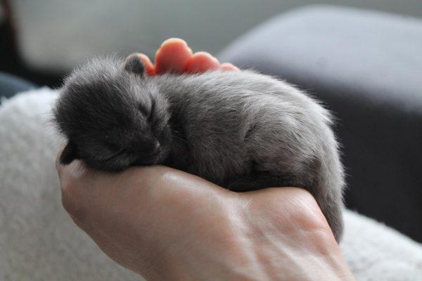 Новорождённый британский котёнок