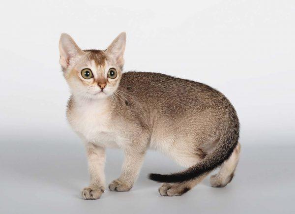 Кошка-подросток породы сингапура