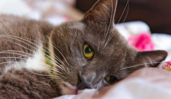 Коричневая кошка с зелёными глазами лежит на подушке
