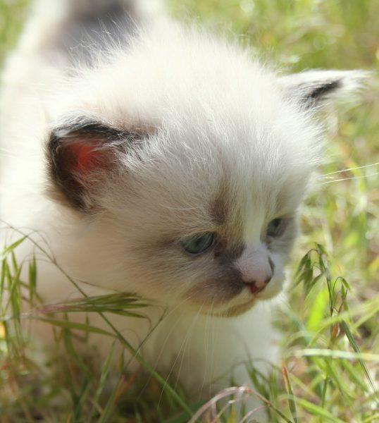 Черноухий котёнок сноу шу в зелёной траве