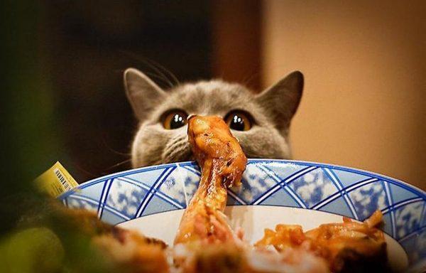 Британская кошка смотрит на жареный окорочок