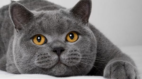 Упитанный британский кот крупным планом