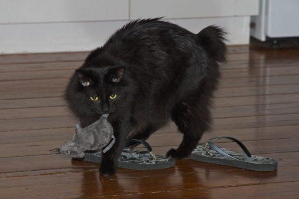 Чёрный кимрик держит в зубах игрушечную мышь