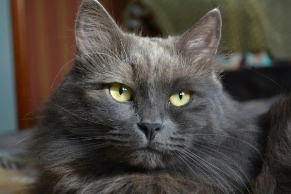 Зеленоглазый кот породы нибелунг