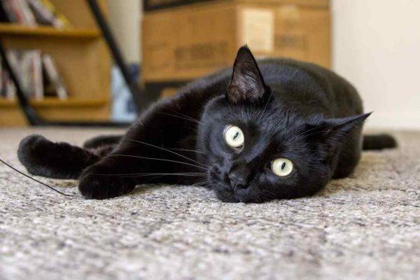 чёрная зеленоглазая кошка на сером ковре