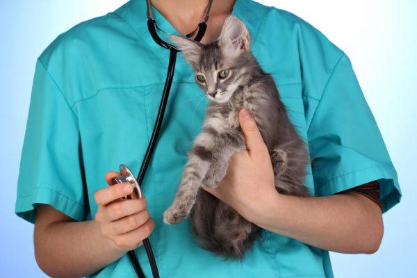 ветеринар в голубой форме держит в руках кошку-подростка
