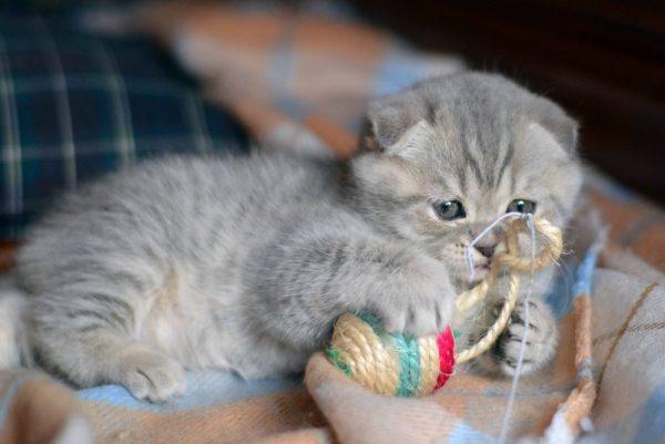 Вислоухий шотландский котёнок играет с мячиком